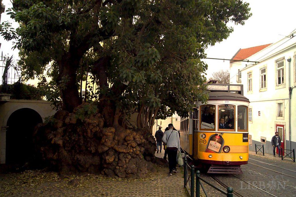 Hoje o antigo Largo do Limoeiro é marcado por uma Bela-Sombra, nome vulgar de Phytolacca Dioica