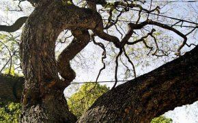 Árvores de Interesse Público em Lisboa