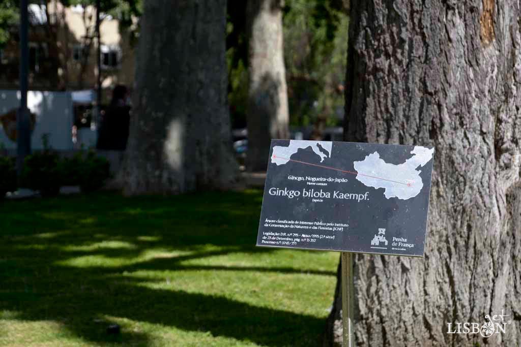 Identification plaque of Public Interest Trees in Largo Paiva Couceiro. Classified ree: Ginkgo biloba L.